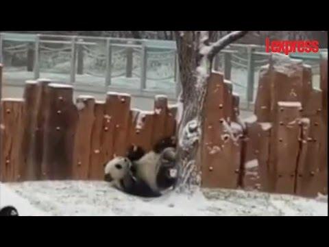 Pandas toboggan youtube